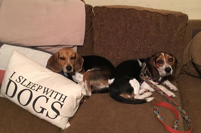 Rescue Beagle